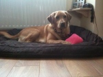 Annie the Labrador on her bed