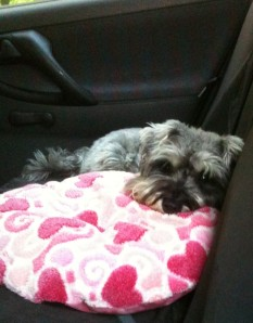 Little Bear laying in the back of the car