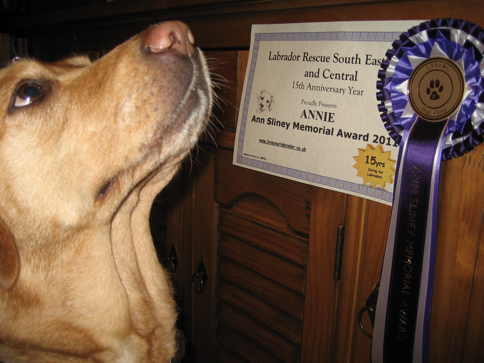 Annie the Labrador with her certificate and rosette