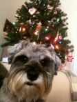 Little Bear the dog in front of the Christmas tree