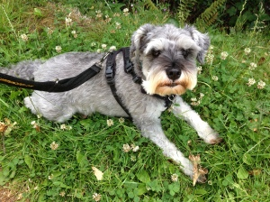 Mini Schnauzer Little Bear takes a break out on a solo walk