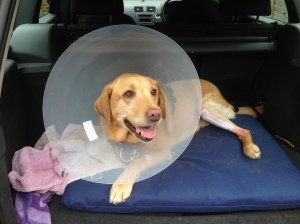 Annie looking happy to be leaving the vets minus her leg plate