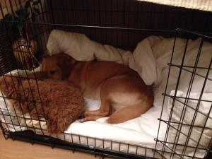 Annie the Labrador sleeping in her bed