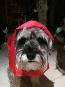 Mini Schnauzer Little Bear in a red coat