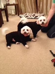 Bichon's Louis and Archie in their onesies
