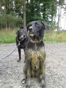 Paddy the Lab/Collie Mix covered in mud