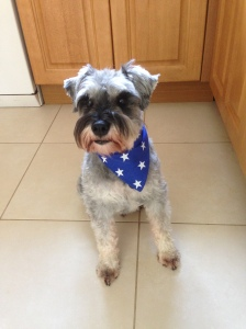 Little Bear the mini schnauzer in a smart blue bandana
