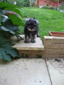 Mini Schnauzer Little Bear in the garden