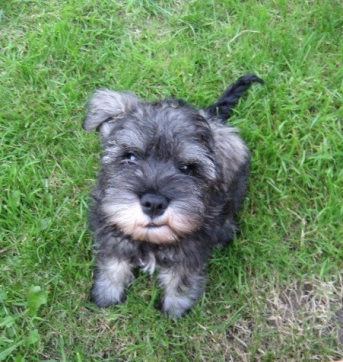 Mini schnauzer puppy Little Bear
