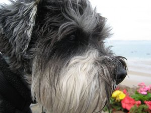 Mini Schnauzer Little Bear looking out to see