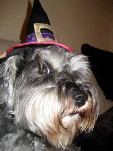 Mini Schnauzer Little Bear in witches hat