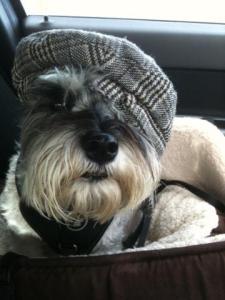 Mini Schnauzer Little Bear in a hat