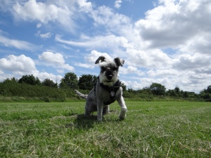 Mini Schnauzer Little Bear in the  field
