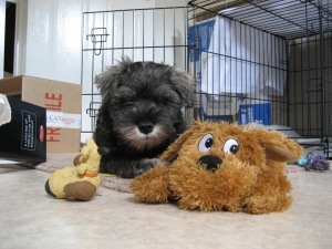 Mini Schnauzer Little Bear with his teddy