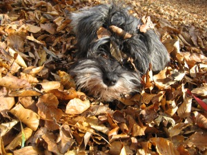Mini Schnauzer Little Bear in the autumn leaves