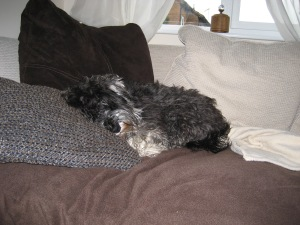 Mini schnauzer Little Bear sleeping on the sofa