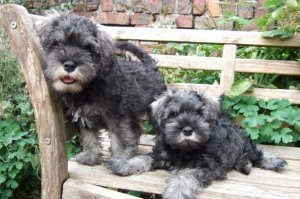Two mini schnauzer puppies