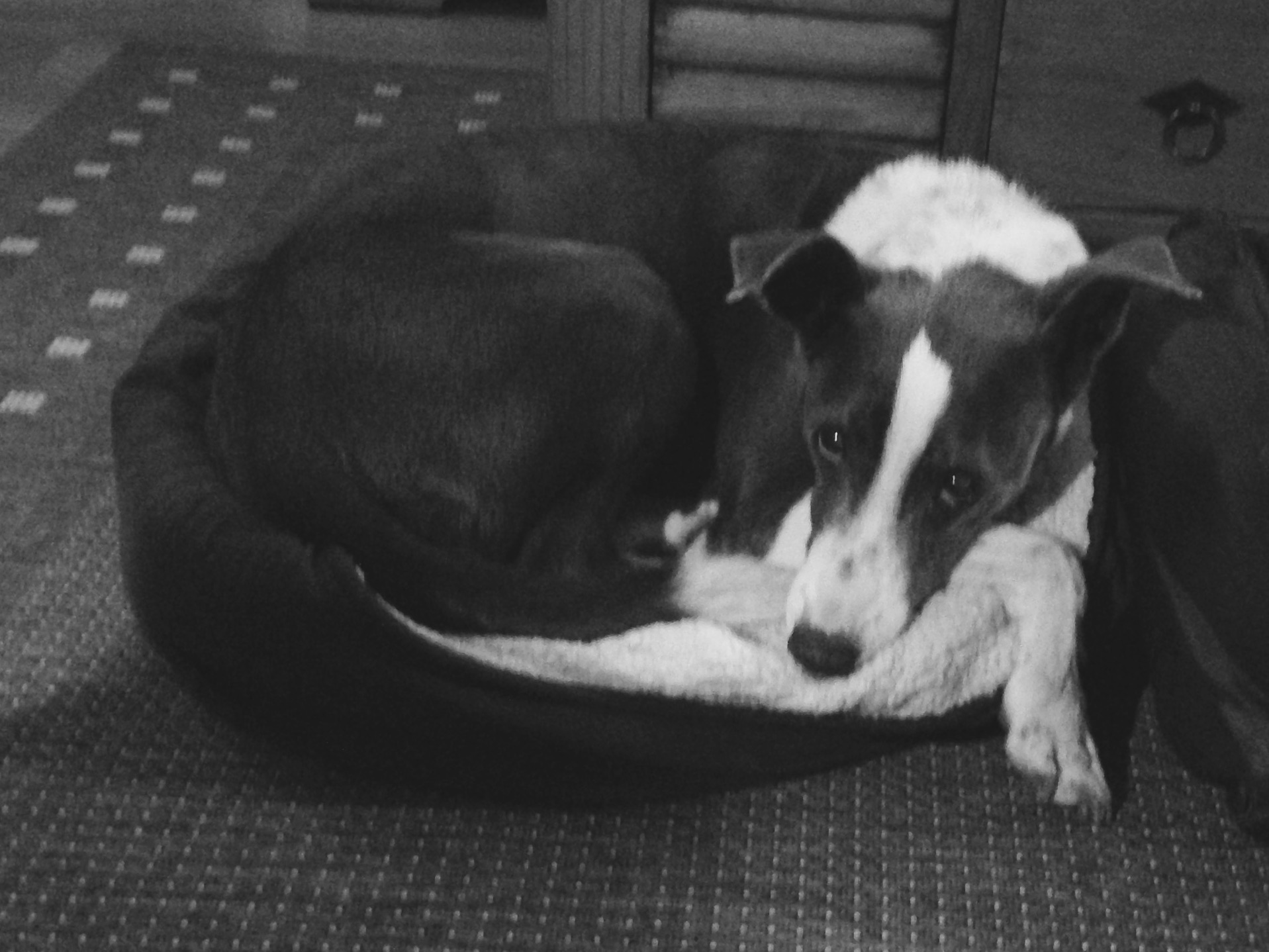 Grey & white Collie cross laying in a small dog bed looking at the camera