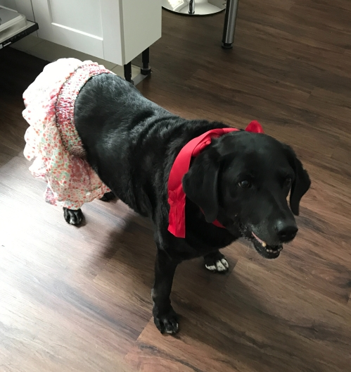 Black labrador wearing a floral skirt and a red ribbon around her neck