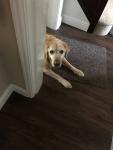 Red fox Labrador peeking around door