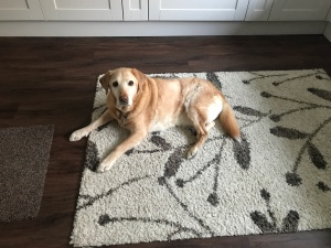 Red fox Labrador laying on rug in kitchen