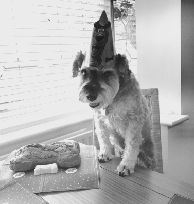 Mini Schnauzer stands with front feet on a table, wearing a party hat and looking at a bone shaped cake