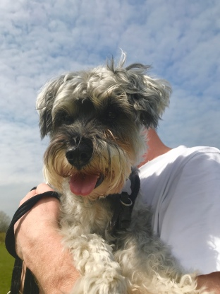 Mini Schnauzer being carried