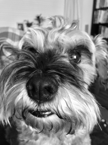Close up shot of Mini Schnauzer Little Bear