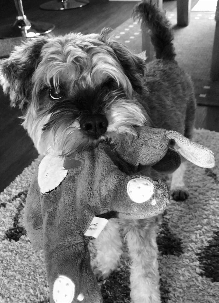 Black and white photo of Mini Schnauzer with soft toy in his mouth
